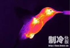 案例�蚵逶祭�马利蒙特大学使用FLIR热成像对蜂鸟进行研究
