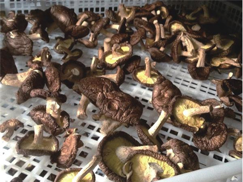 解决烘干难题,江西南城香菇烘干基地使用纽恩泰空气能热泵烘干